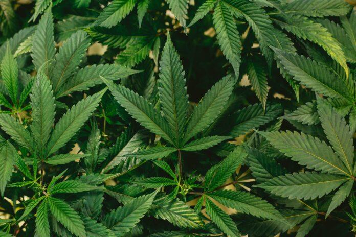 5 Innovative ways to optimize yield in marijuana plants